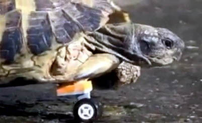Injured Tortoise is Rolling Just Fine