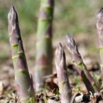 wild_asparagus