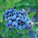 wild_blueberries
